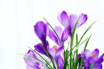 Beautiful crocus flowers on curtain background
