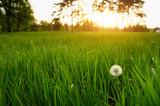 Fototapety Dandelion green grass on spring meadow