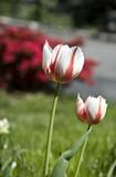 il tulipano screziato