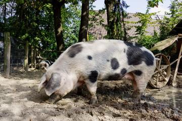 pet pig on a farm