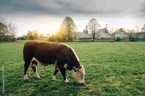 Deurstickers Koe Cow grazing on pasture