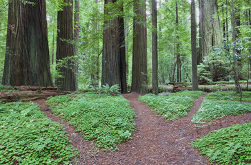 The Avenue of the Giants is an avenue of large sequoia redwood trees