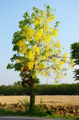 Cassia fistula known as the golden shower tree