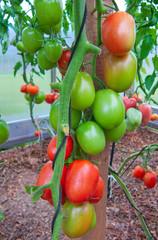 Tomatoes plant.