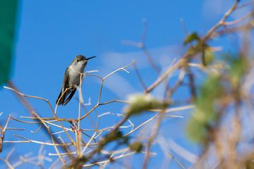 Costa's Hummingbird - Calypte Costae