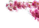 background with Beautiful pink cherry blossom, Sakura flowers on - 82124071