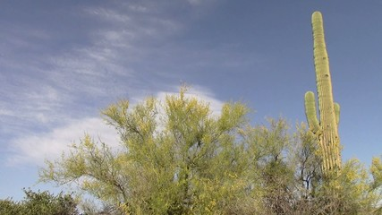 Palo Verde Tree and Saguaro Cactus ,Superstition Mtns, Arizona
