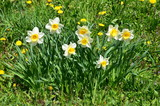 Narzissen auf Frühlingswiese