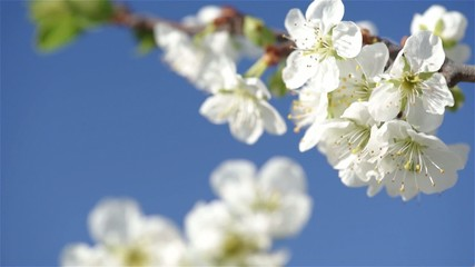 Branches of white plum tree in blossom swaying on the wind again