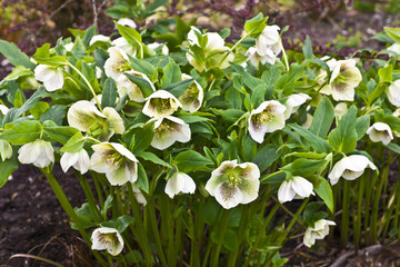 Close-up of a white hellebore with purple spots in a garden.