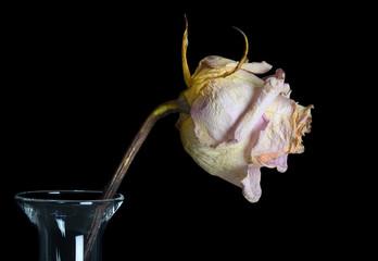 Beautiful Old Rose