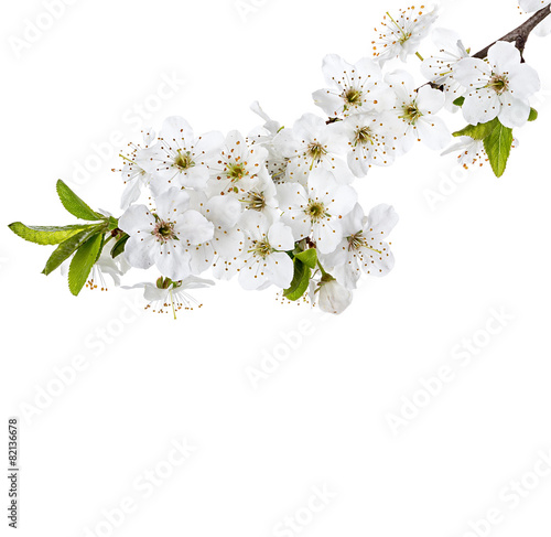 Fotobehang Kersen apple flowers branch isolated on a white background