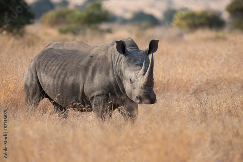 Foto op Canvas Neushoorn Lone rhino standing on open area looking for safety from poacher