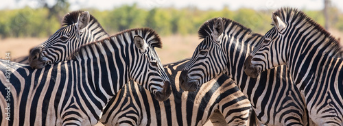 Papiers peints Zebra Zebra herd in colour photo with heads together