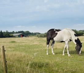 Horse Grazing in Meadow