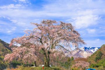 枝垂れ桜と上州武尊