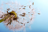 Fototapeta Dandelion clock: wishes and dreams :)