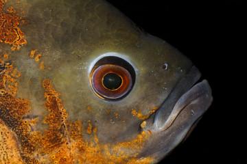 Head of a oscar fish