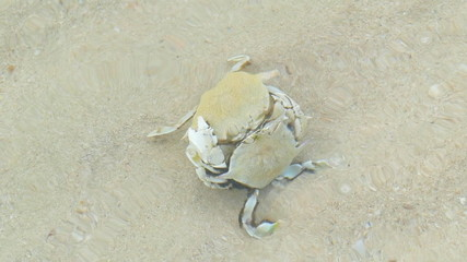 Sand Crab are fighting underwater.