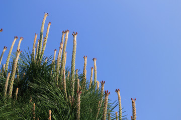青空に伸びる松の新芽