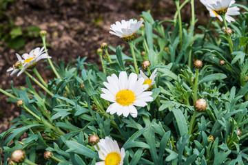 Margaret flower on soil