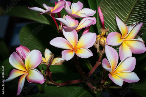 Poster Frangipani white , pink and yellow Plumeria