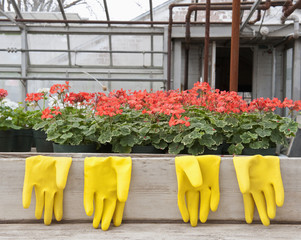Rubber gloves hanging near potted flowers in greenhouse