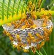 guêpes tropicales sur nid, île de la Réunion