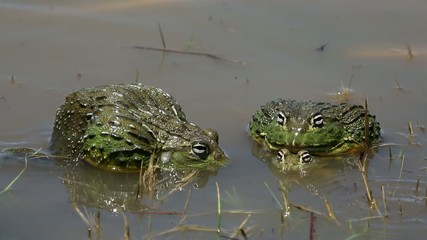 Mating and fighting African giant bullfrog