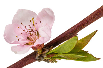 Peach blossom, isolated on white background