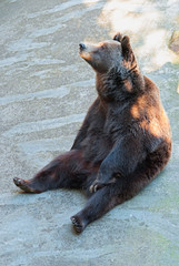 A brown bear sitting in its enclosure at a zoo