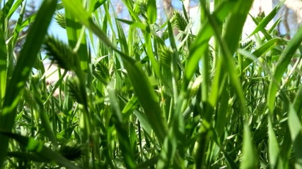 fresh green grass closeup macro