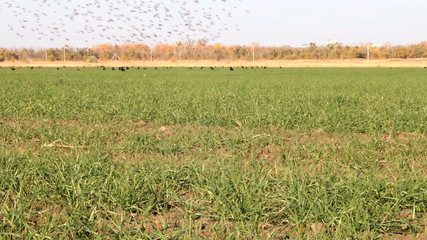 Flocks of birds in agricultural fields