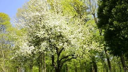 Obstbaumblüte im Frühjahr