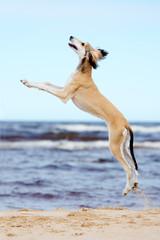 saluki puppy jumping up at the sea