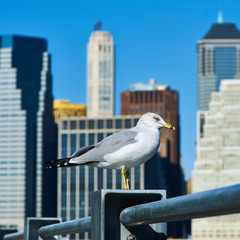 Seagull with Manhattan in background.