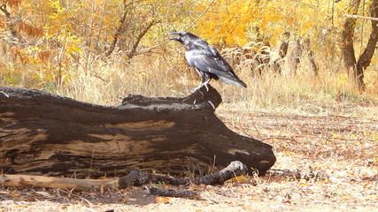 Talking clever bird crow