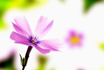 Violet phlox bloom