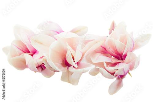 Fotobehang Magnolia Blossoming pink magnolia tree Flowers