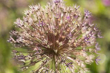 Allium Lauchpflanze