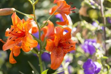 Lilien Blume
