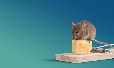 Risk. Mouse eating cheese of the trap
