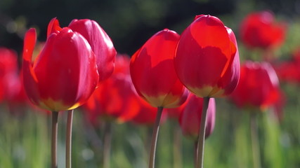 Red Tulips in the Spring Garden Swaying in the Wind