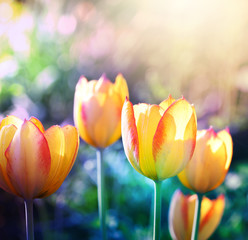 Nature background. Soft focus tulips flower in bloom.
