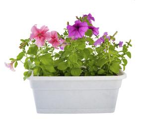 Petunia of the balcony planters..