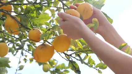 Farmer looking lemons on lemon tree