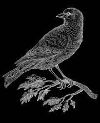 Bird - vintage engraved illustration