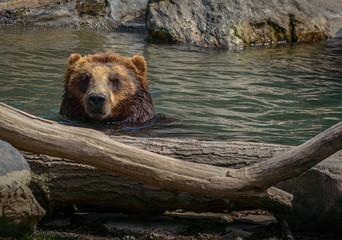 Head shot of a Brown bear in water with driftwood and rocks