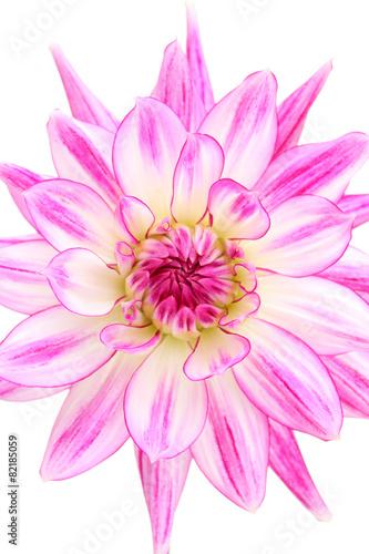 Foto op Canvas Dahlia Lilac Shadow