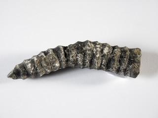 Fosil de un coral marino